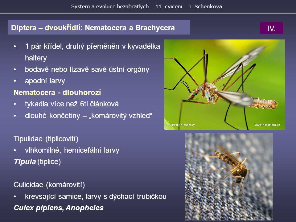 Diptera – dvoukřídlí: Nematocera a Brachycera Systém a evoluce bezobratlých 11. cvičení J. Schenková 1 pár křídel, druhý přeměněn v kyvadélka haltery