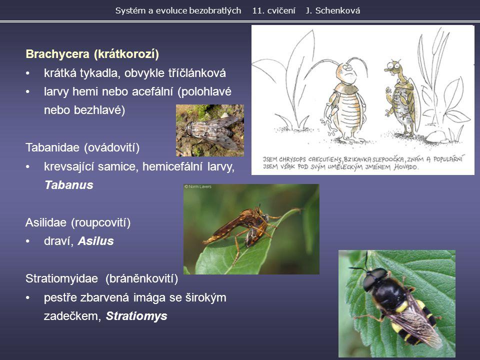 Brachycera (krátkorozí) krátká tykadla, obvykle tříčlánková larvy hemi nebo acefální (polohlavé nebo bezhlavé) Tabanidae (ovádovití) krevsající samice