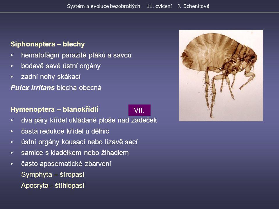 Siphonaptera – blechy hematofágní parazité ptáků a savců bodavě savé ústní orgány zadní nohy skákací Pulex irritans blecha obecná Hymenoptera – blanok