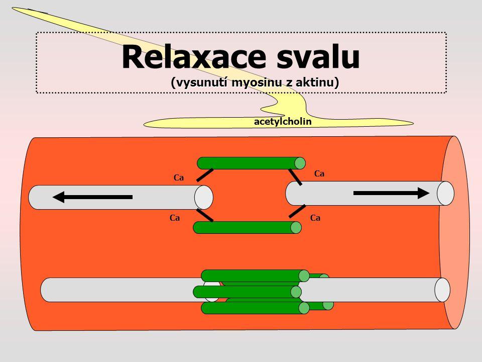 acetylcholin Ca vysunutí myosinu z aktinu) Relaxace svalu (vysunutí myosinu z aktinu)