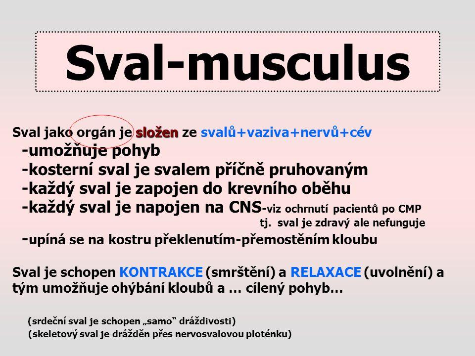 Sval-musculus složen Sval jako orgán je složen ze svalů+vaziva+nervů+cév -umožňuje pohyb -kosterní sval je svalem příčně pruhovaným -každý sval je zap