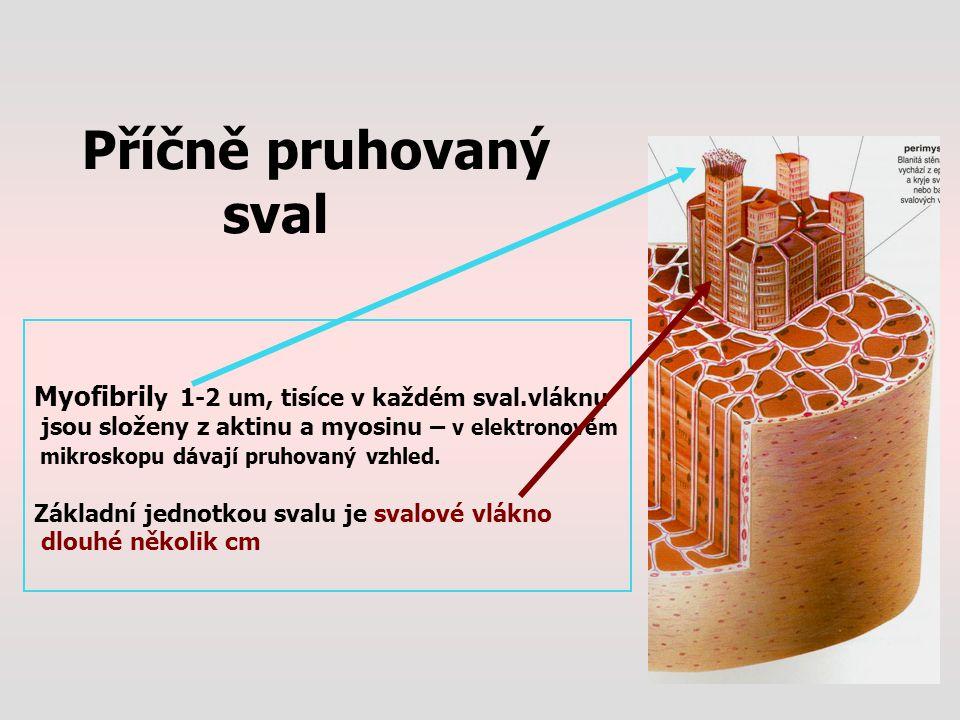 Myofibril y 1-2 um, tisíce v každém sval.vláknu jsou složeny z aktinu a myosinu – v elektronovém mikroskopu dávají pruhovaný vzhled. Základní jednotko