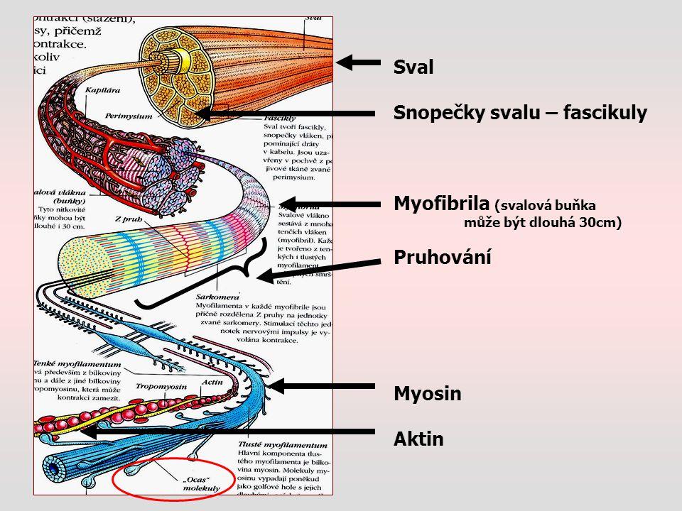 Sval Snopečky svalu – fascikuly Myofibrila (svalová buňka může být dlouhá 30cm) Pruhování Myosin Aktin