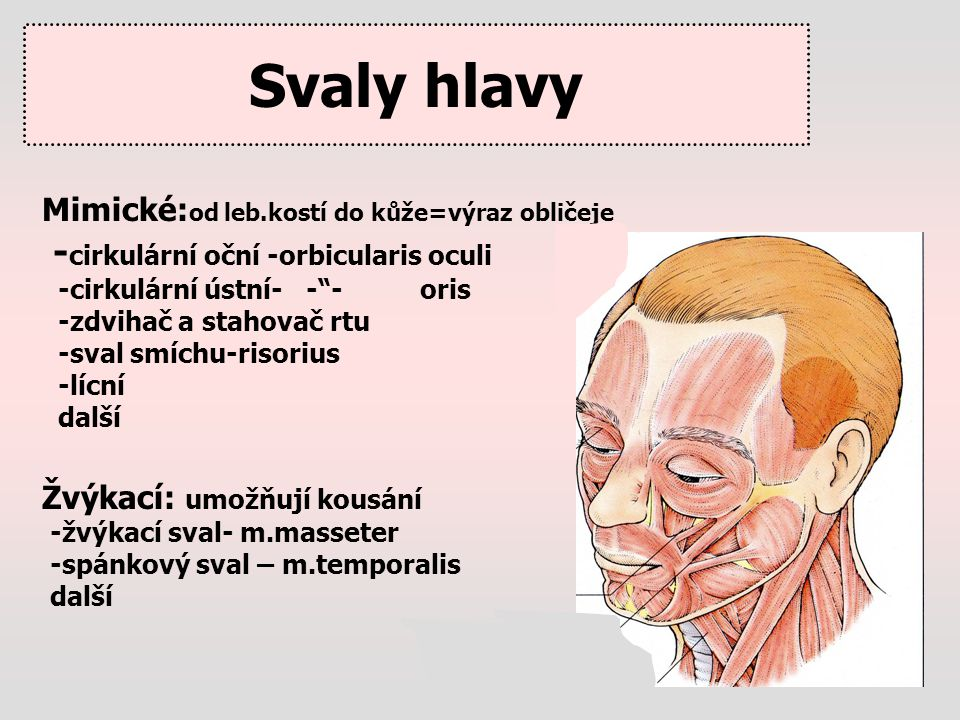 """Svaly hlavy Mimické: od leb.kostí do kůže=výraz obličeje - cirkulární oční -orbicularis oculi -cirkulární ústní- -""""- oris -zdvihač a stahovač rtu -sva"""