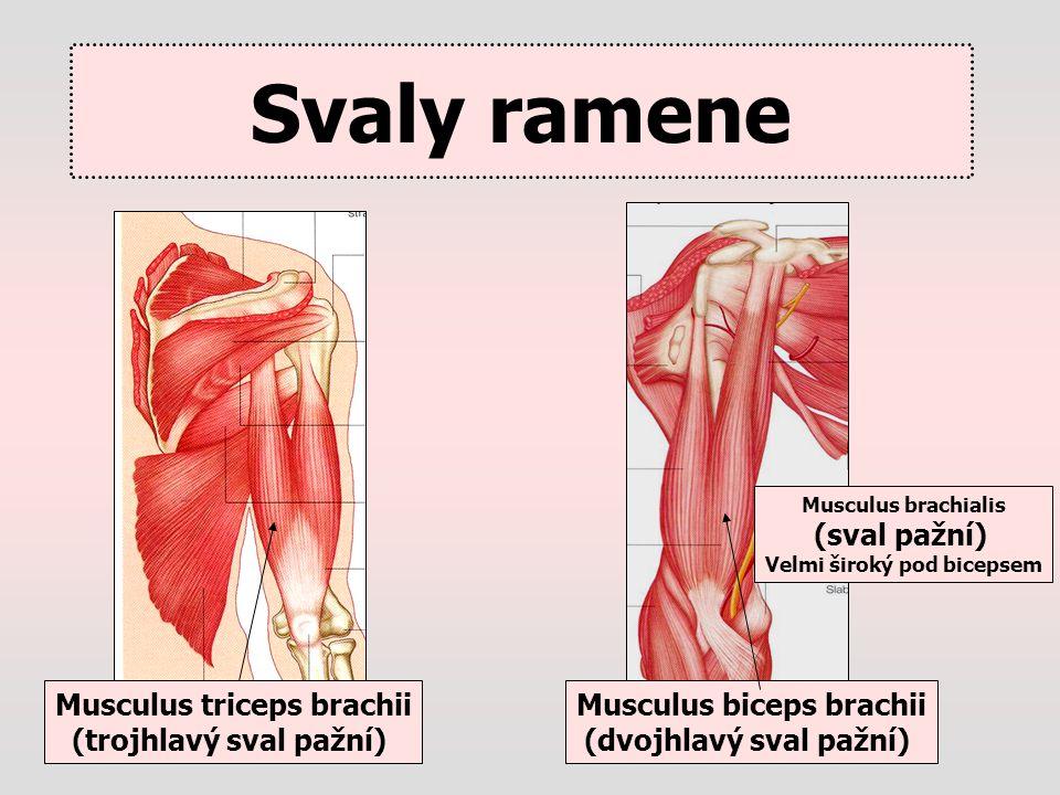 Svaly ramene Musculus biceps brachii (dvojhlavý sval pažní) Musculus triceps brachii (trojhlavý sval pažní) Musculus brachialis (sval pažní) Velmi šir