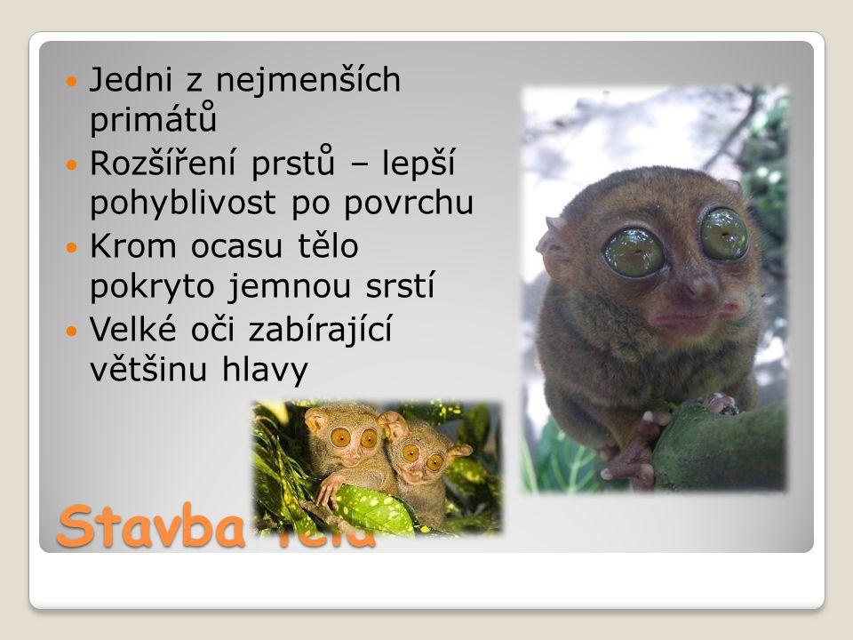 Stavba těla Jedni z nejmenších primátů Rozšíření prstů – lepší pohyblivost po povrchu Krom ocasu tělo pokryto jemnou srstí Velké oči zabírající většin