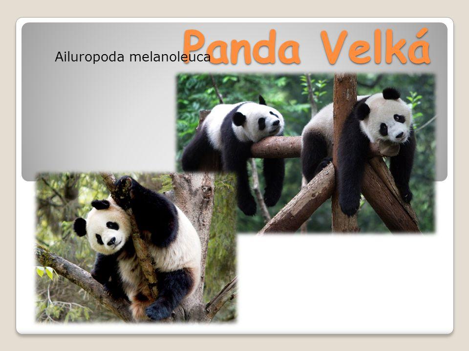 Panda Velká Ailuropoda melanoleuca