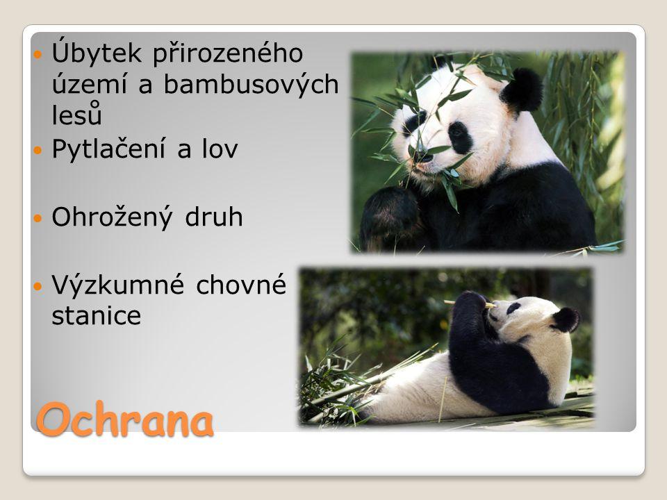 Ochrana Úbytek přirozeného území a bambusových lesů Pytlačení a lov Ohrožený druh Výzkumné chovné stanice