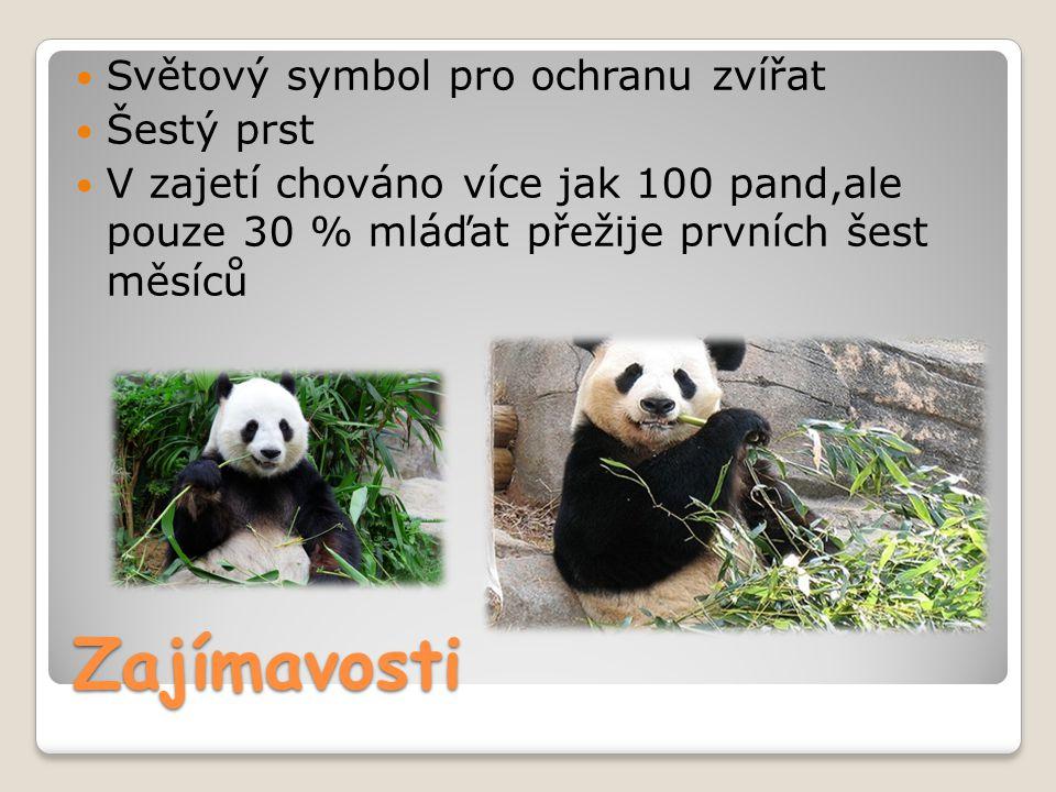 Zajímavosti Světový symbol pro ochranu zvířat Šestý prst V zajetí chováno více jak 100 pand,ale pouze 30 % mláďat přežije prvních šest měsíců