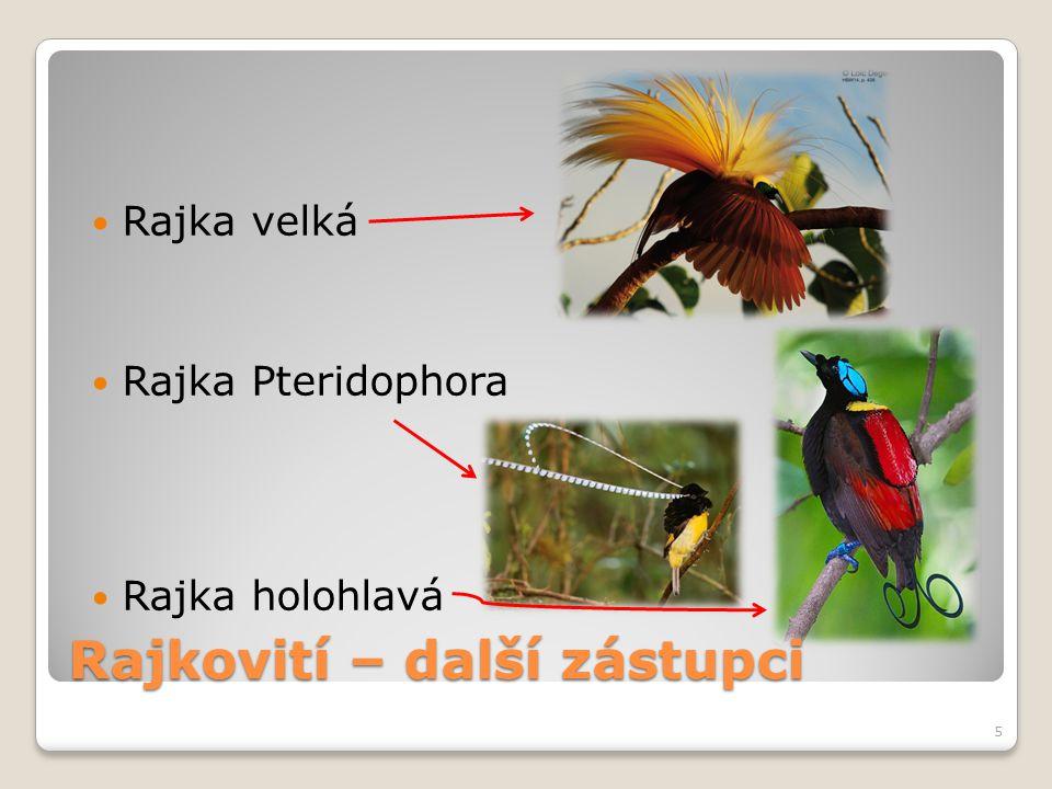 Rajka velká Rajka Pteridophora Rajka holohlavá 5 Rajkovití – další zástupci
