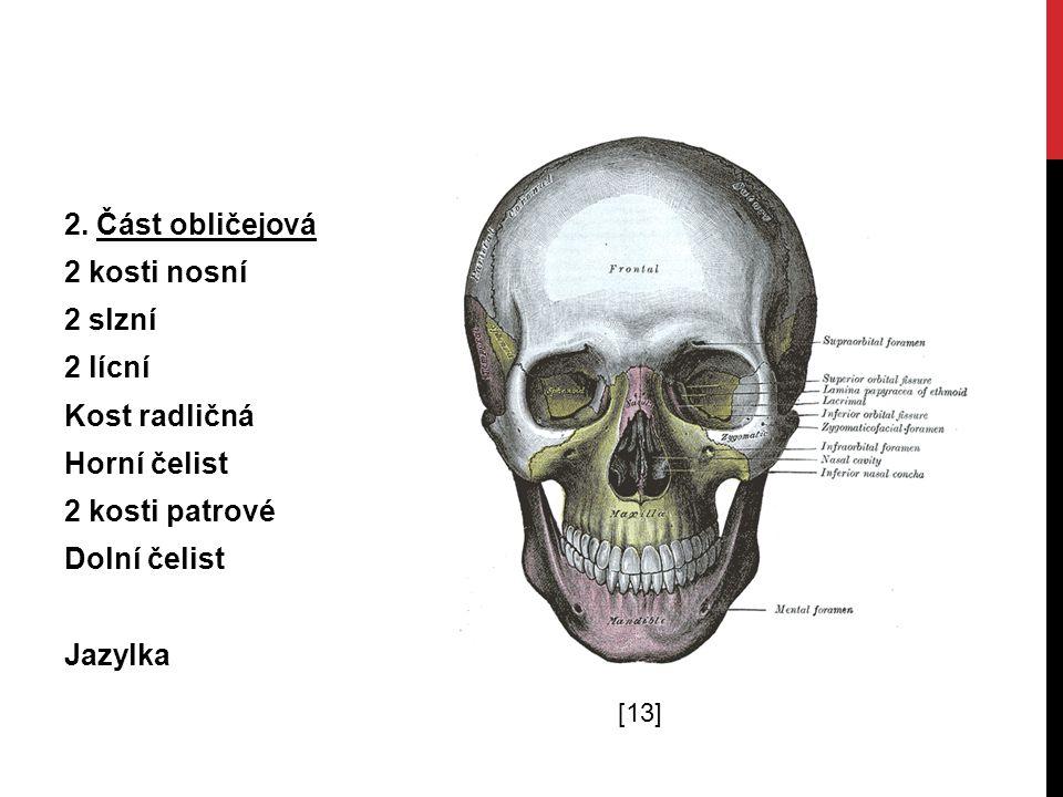 2. Část obličejová 2 kosti nosní 2 slzní 2 lícní Kost radličná Horní čelist 2 kosti patrové Dolní čelist Jazylka [13]