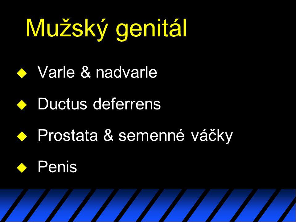 Mužský genitál u Varle & nadvarle u Ductus deferrens u Prostata & semenné váčky u Penis