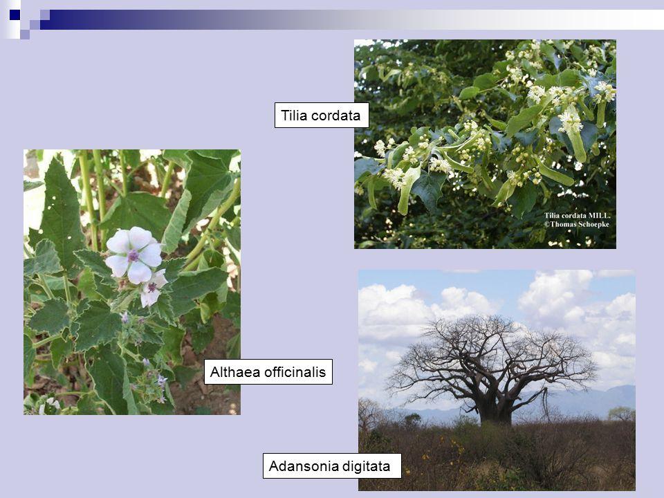 Althaea officinalis Tilia cordata Adansonia digitata