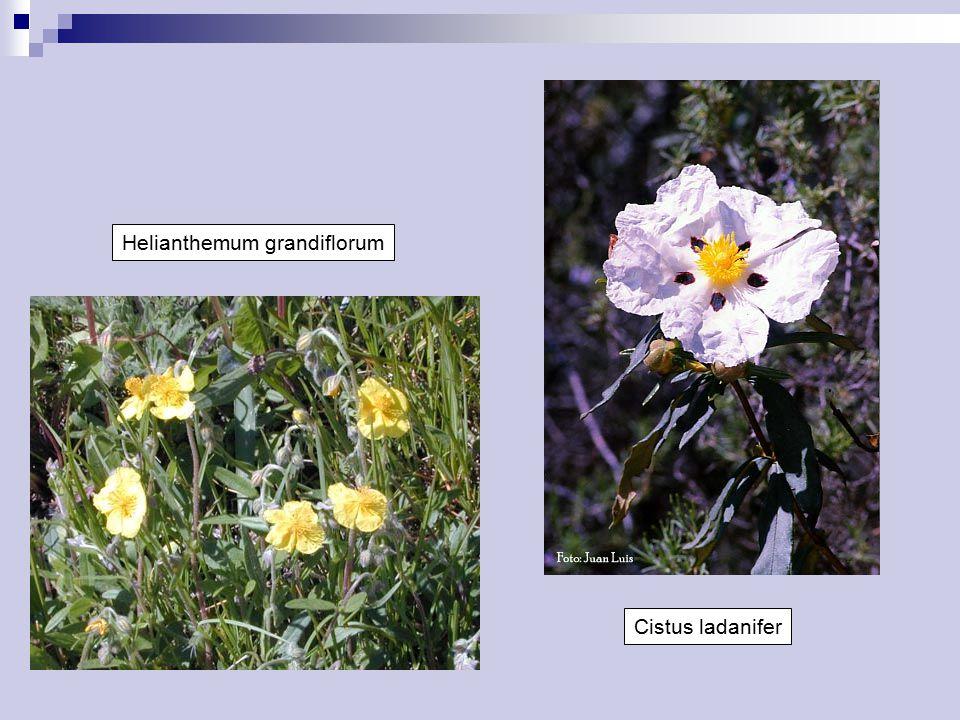 Helianthemum grandiflorum Cistus ladanifer