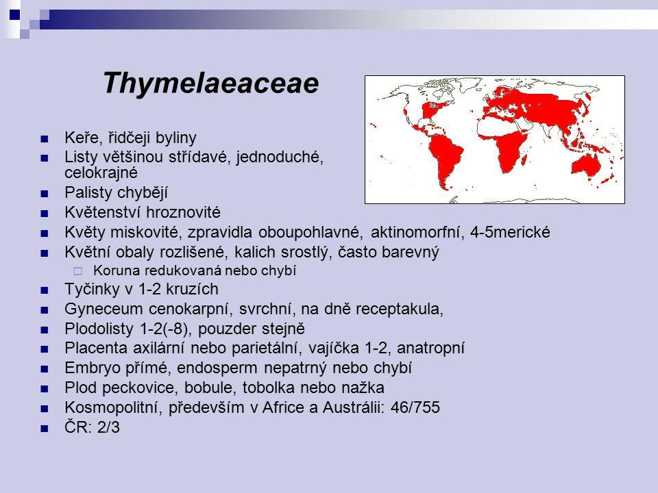 Thymelaeaceae Keře, řidčeji byliny Listy většinou střídavé, jednoduché, celokrajné Palisty chybějí Květenství hroznovité Květy miskovité, zpravidla ob