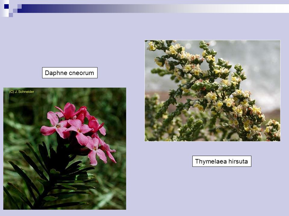 Daphne cneorum Thymelaea hirsuta