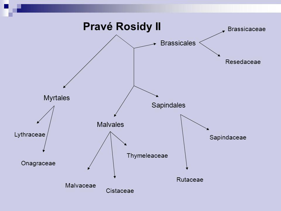 Pravé Rosidy II Myrtales Brassicales Brassicaceae Lythraceae Onagraceae Sapindales Malvales Malvaceae Rutaceae Sapindaceae Cistaceae Thymeleaceae Resedaceae