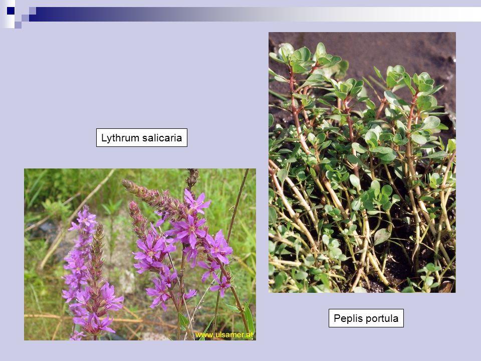 Onagraceae Byliny (suchozemské i vodní), keře i stromy Listy střídavé, vstřícné nebo v přeslenech, jednoduché Palisty většinou chybějí Květenství většinou hroznovité Květy oboupohlavné, aktinomorfní nebo lehce zygomorfní, většinou pentacyklické, (2-)4merické Květní obaly rozlišené, volné, koruny někdy zakrnělé Tyčinky zpravidla ve 2 kruzích Gyneceum cenokarpní, spodní  Vytvořeno nápadné hypanthium Semeník z 2 nebo 4 plodolistů, zpravidla stejný počet pouzder Placenta axilární, vajíček 1 až mnoho, anatropních Embryo přímé, endosperm chybí Plod pouzdrosečná tobolka, bobule nebo nažka Kosmopolitní: 20/650 ČR: 5/30
