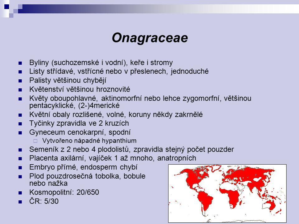 Oenothera glazioviana Oenthoera biennis Circaea lutetiana