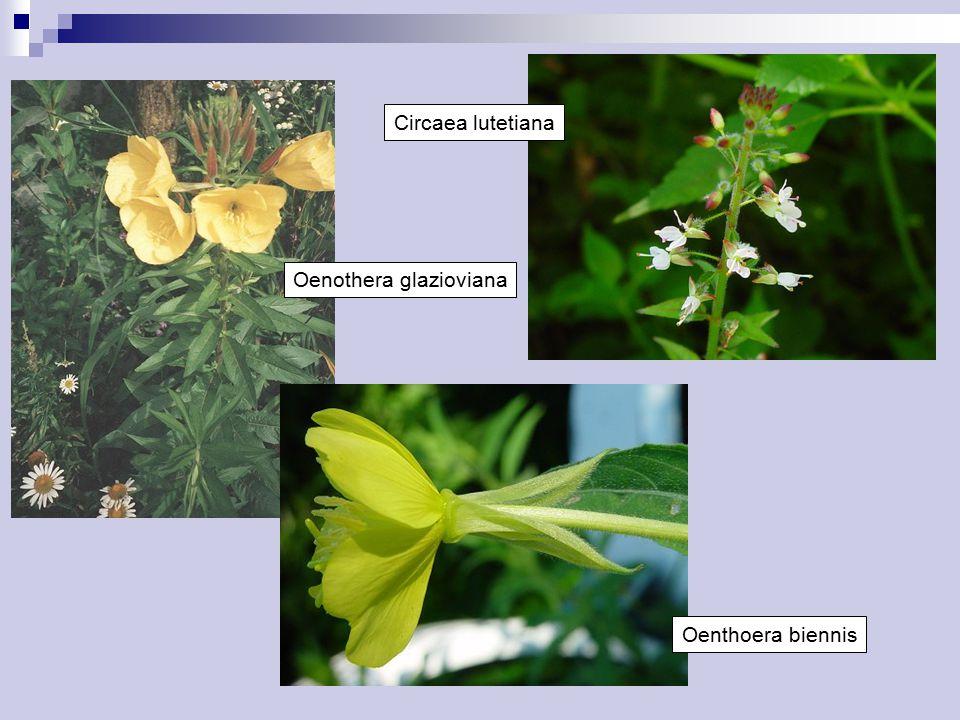 Brassicaceae Převážně byliny, vzácně malé keře Listy střídavé, jednoduché nebo peřeně členěné Palisty chybějí Květenství hroznovité Květy oboupohlavné, aktinomorfní, pentacyklické, tetramerické Květní obaly rozlišené, volné, koruna výjimečně chybí Tyčinek 6, ve 2 kruzích (2 + 4) Gyneceum cenokarpní, svrchní Plodolisty 2, pouzdra 2, oddělená druhotnou přehrádkou Placenta parietální, vajíček zpravidla mnoho, anatropních nebo příčných Embryo zakřivené, endosperm nepatrný nebo chybí Plod šešule, šešulka, nažka nebo struk Obsahují glukosinoláty a enzym myrozinázu Kosmopolitní, především v mírném pásmu: 338/3710 ČR: 42/150