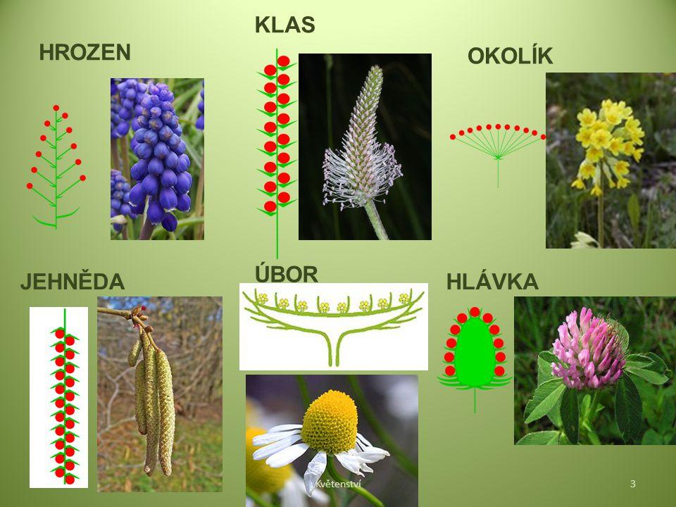HROZEN KLAS OKOLÍK JEHNĚDA ÚBOR HLÁVKA Květenství3
