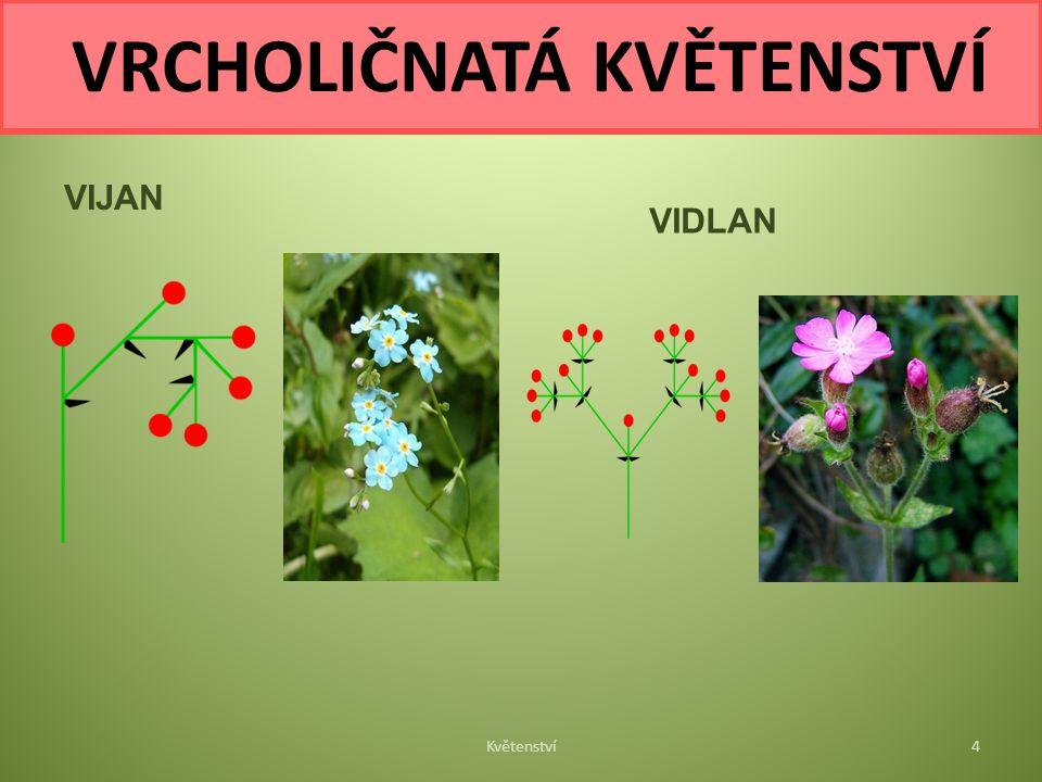 VIJAN VIDLAN Květenství4 VRCHOLIČNATÁ KVĚTENSTVÍ