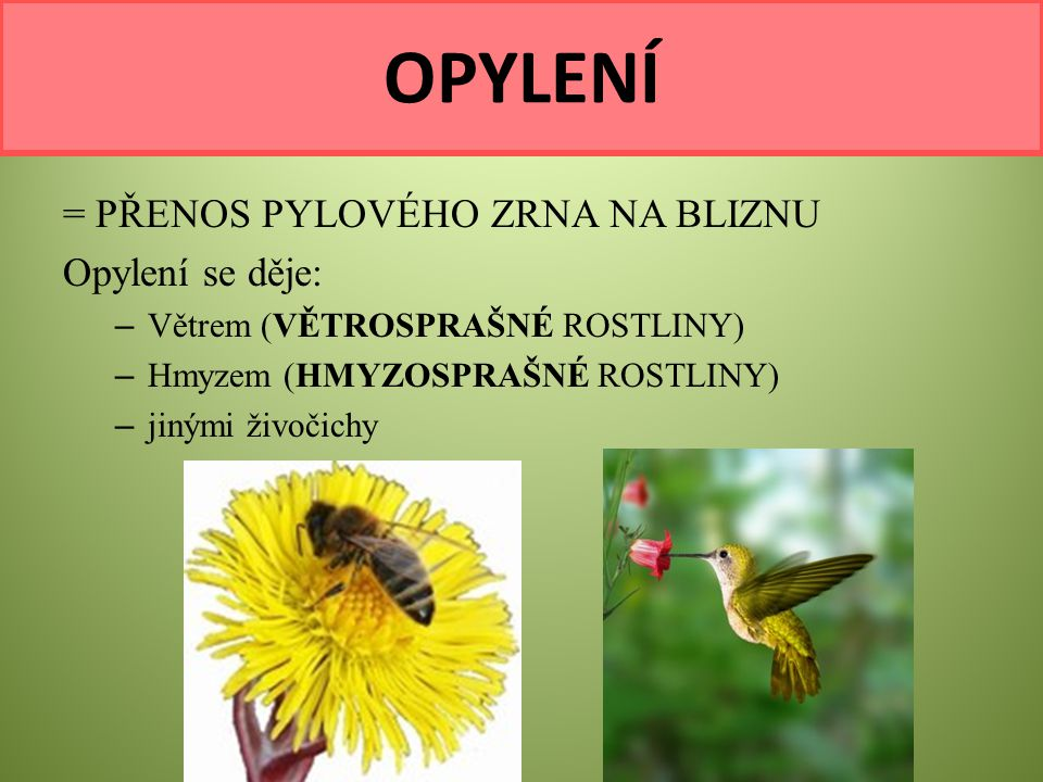 = PŘENOS PYLOVÉHO ZRNA NA BLIZNU Opylení se děje: – Větrem (VĚTROSPRAŠNÉ ROSTLINY) – Hmyzem (HMYZOSPRAŠNÉ ROSTLINY) – jinými živočichy OPYLENÍ