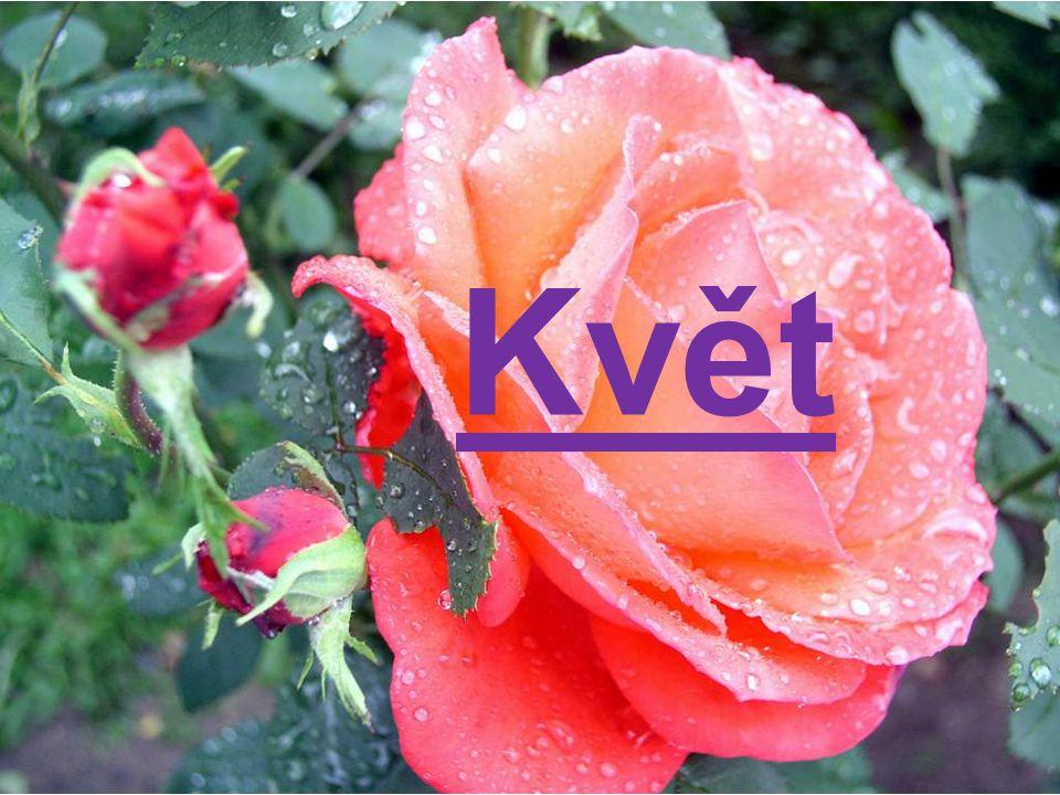 Schéma květu Květokvětí stonek obaly květní květy nahé koruna samčí – tyčinky (A) květní lůžko kalich pestík list samičí – plodolisty (G) Pohlavní orgány chybí nerozlišené rozlišené