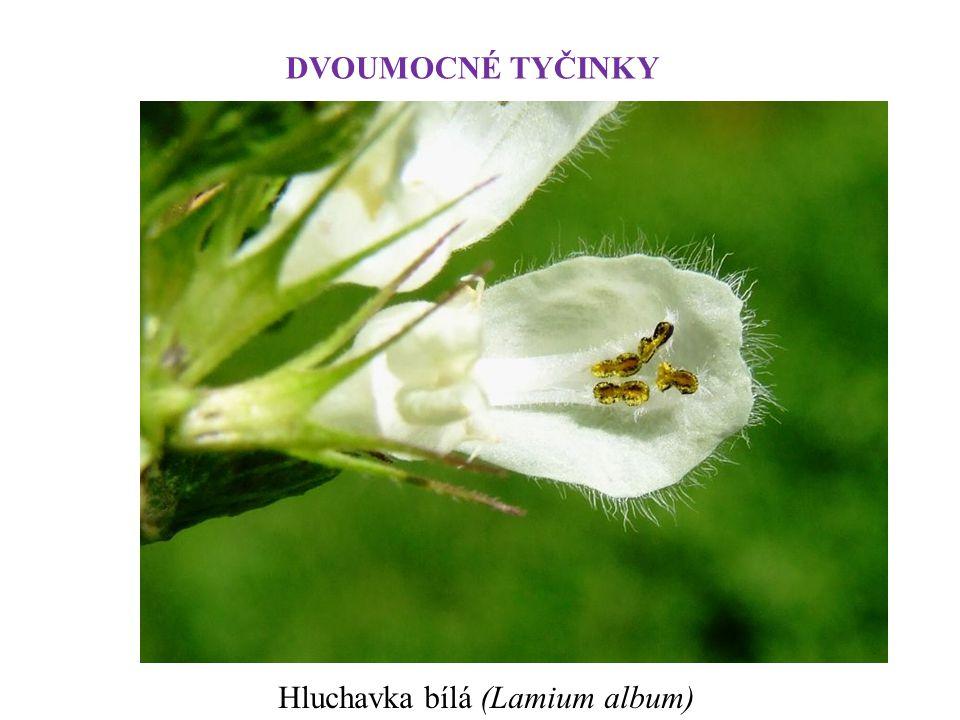 DVOUMOCNÉ TYČINKY Hluchavka bílá (Lamium album)