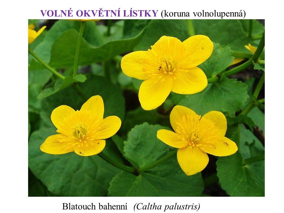 Blatouch bahenní (Caltha palustris) VOLNÉ OKVĚTNÍ LÍSTKY (koruna volnolupenná)