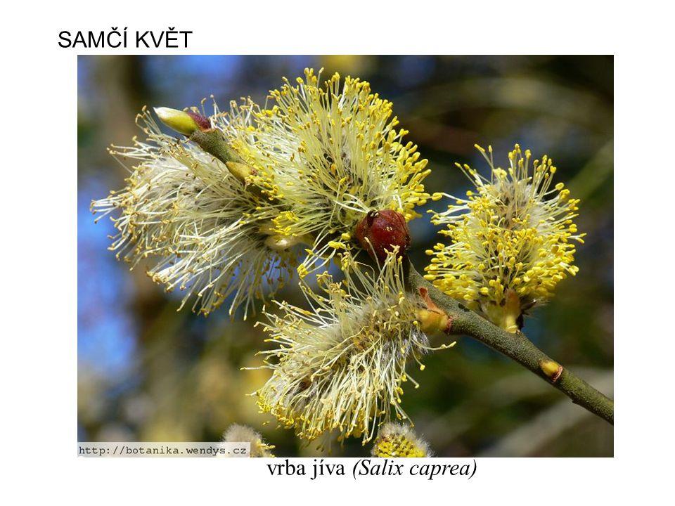 SAMČÍ KVĚT vrba jíva (Salix caprea)