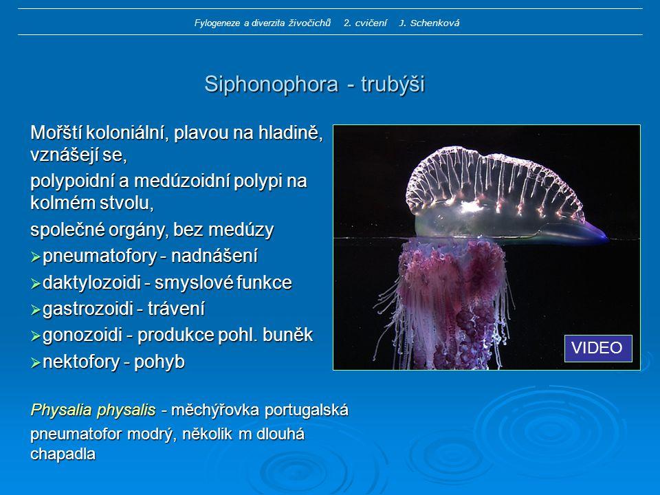 Siphonophora - trubýši Mořští koloniální, plavou na hladině, vznášejí se, polypoidní a medúzoidní polypi na kolmém stvolu, společné orgány, bez medúzy  pneumatofory - nadnášení  daktylozoidi - smyslové funkce  gastrozoidi - trávení  gonozoidi - produkce pohl.