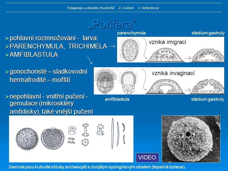 """""""Porifera  pohlavní rozmnožování - larva:  PARENCHYMULA, TRICHIMELA  AMFIBLASTULA  gonochoristé – sladkovodní hermafrodité – mořští  nepohlavní - vnitřní pučení - gemulace (mikroskléry amfidisky), také vnější pučení parenchymula stádium gastruly amfiblastula stádium gastruly VIDEO Gemule jsou kulovité shluky archeocytů s dvojitým sponginovým obalem (tepelná izolace)."""