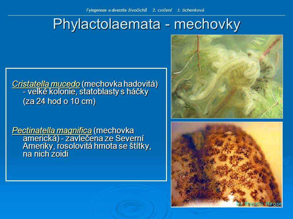 Phylactolaemata - mechovky Cristatella mucedo (mechovka hadovitá) - velké kolonie, statoblasty s háčky (za 24 hod o 10 cm) Pectinatella magnifica (mechovka americká) - zavlečena ze Severní Ameriky, rosolovitá hmota se štítky, na nich zoidi Fylogeneze a diverzita živočichů 2.
