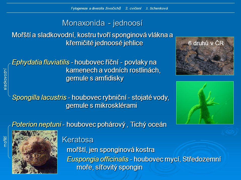Monaxonida - jednoosí Mořští a sladkovodní, kostru tvoří sponginová vlákna a křemičité jednoosé jehlice Ephydatia fluviatilis - houbovec říční - povlaky na kamenech a vodních rostlinách, gemule s amfidisky Spongilla lacustris - houbovec rybniční - stojaté vody, gemule s mikrosklérami Poterion neptuni - houbovec pohárový, Tichý oceán Keratosa mořští, jen sponginová kostra Euspongia officinalis - houbovec mycí, Středozemní moře, síťovitý spongin sladkovodní mořští Fylogeneze a diverzita živočichů 2.