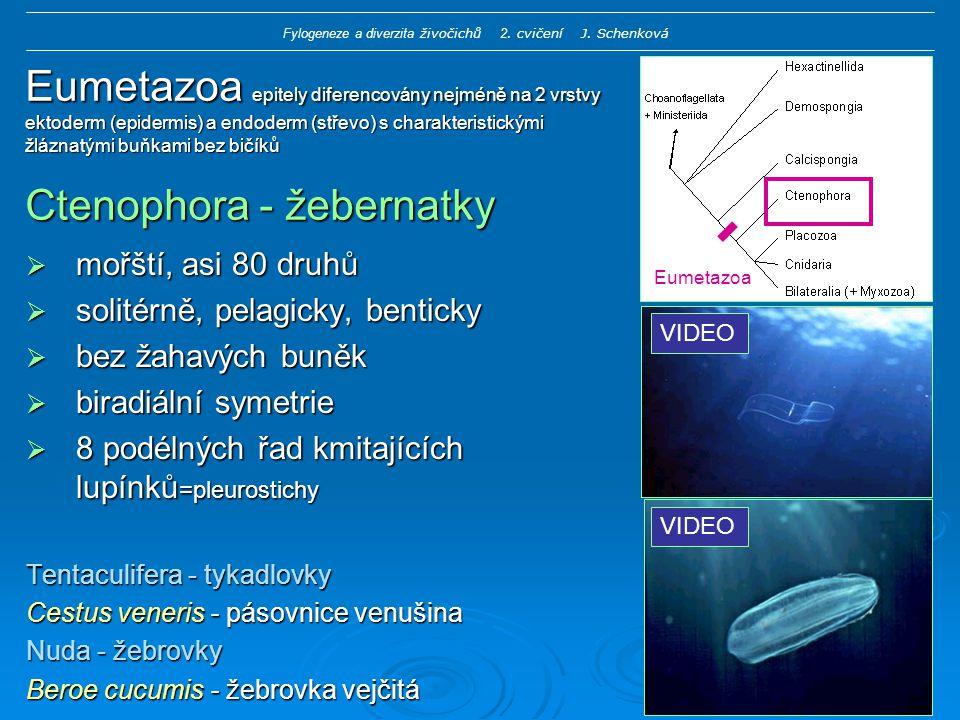 Eumetazoa epitely diferencovány nejméně na 2 vrstvy ektoderm (epidermis) a endoderm (střevo) s charakteristickými žláznatými buňkami bez bičíků Ctenophora - žebernatky  mořští, asi 80 druhů  solitérně, pelagicky, benticky  bez žahavých buněk  biradiální symetrie  8 podélných řad kmitajících lupínků =pleurostichy Tentaculifera - tykadlovky Cestus veneris - pásovnice venušina Nuda - žebrovky Beroe cucumis - žebrovka vejčitá Eumetazoa VIDEO Fylogeneze a diverzita živočichů 2.