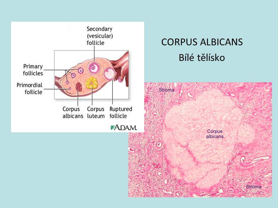 CORPUS ALBICANS Bílé tělísko