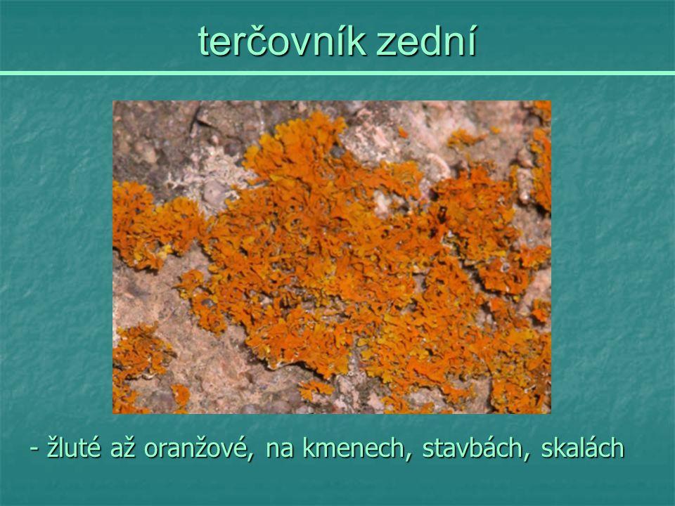 terčovník zední - žluté až oranžové, na kmenech, stavbách, skalách