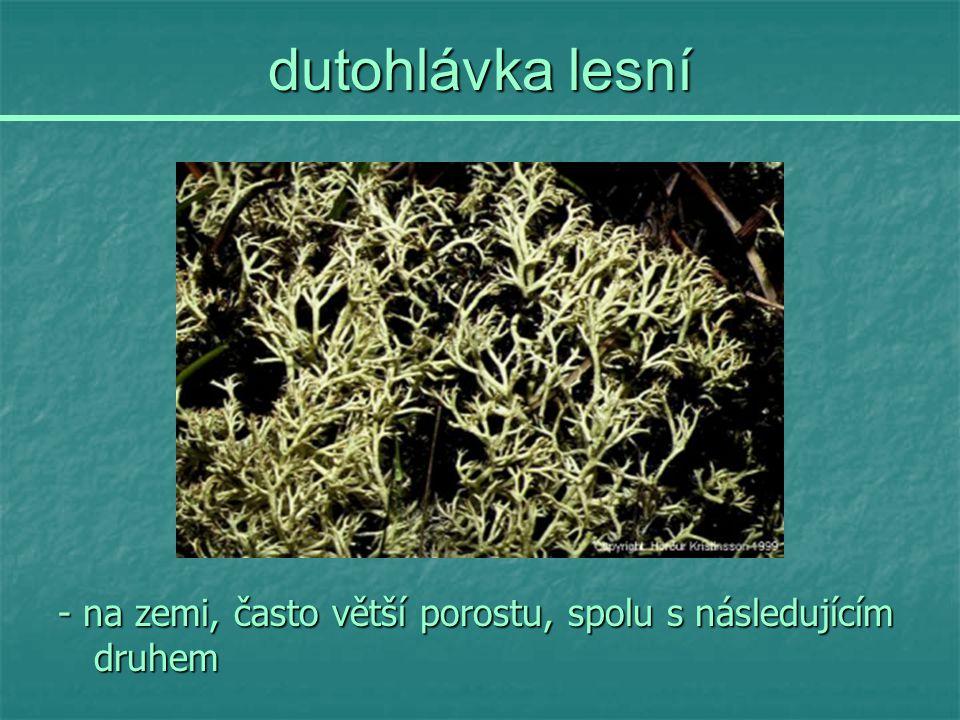 dutohlávka lesní - na zemi, často větší porostu, spolu s následujícím druhem