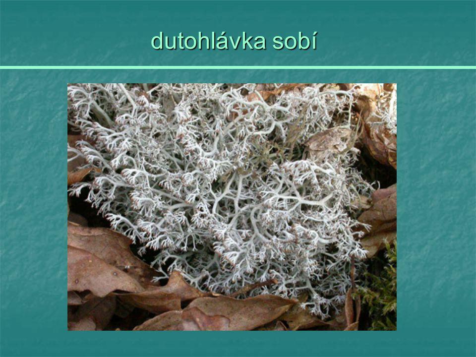 dutohlávka sobí