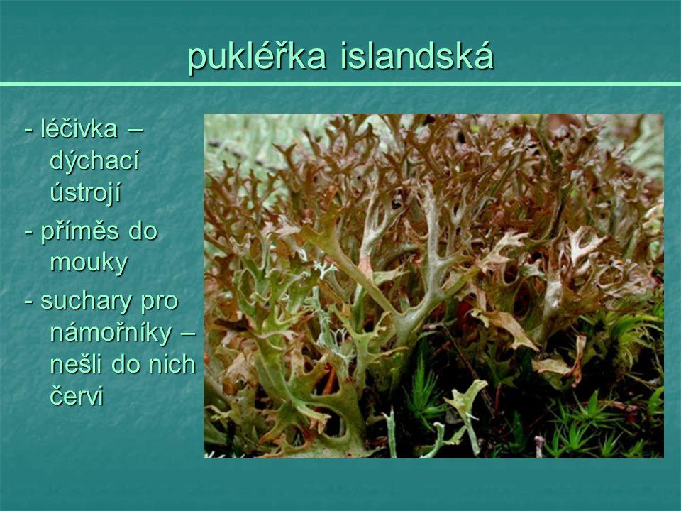 pukléřka islandská - léčivka – dýchací ústrojí - příměs do mouky - suchary pro námořníky – nešli do nich červi