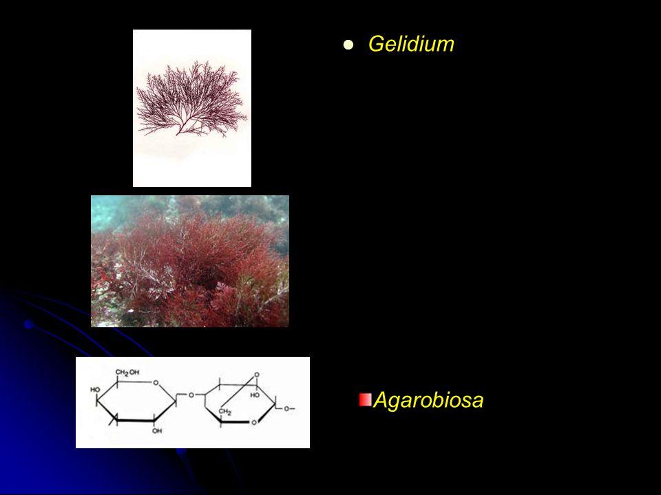 Gelidium Agarobiosa