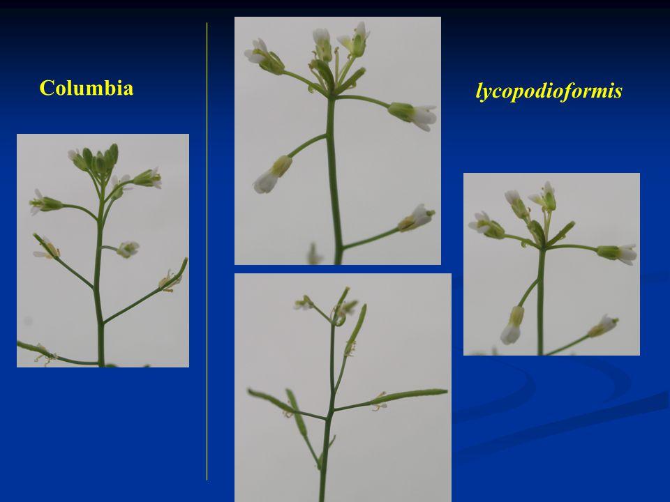 Příklad: Genetické mapování mutace lycopodioformis Arabidopsis thaliana Materiál: morfologická mutace ly Populace F 2 DNA markery – SSR (Simple sequen