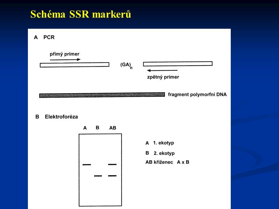 - Izolace DNA - Restrikční analýza - Elektroforetická separace - Přenos DNA na membránu - Značení sondy - Hybridizace - Vizualizace Schéma RFLP marker