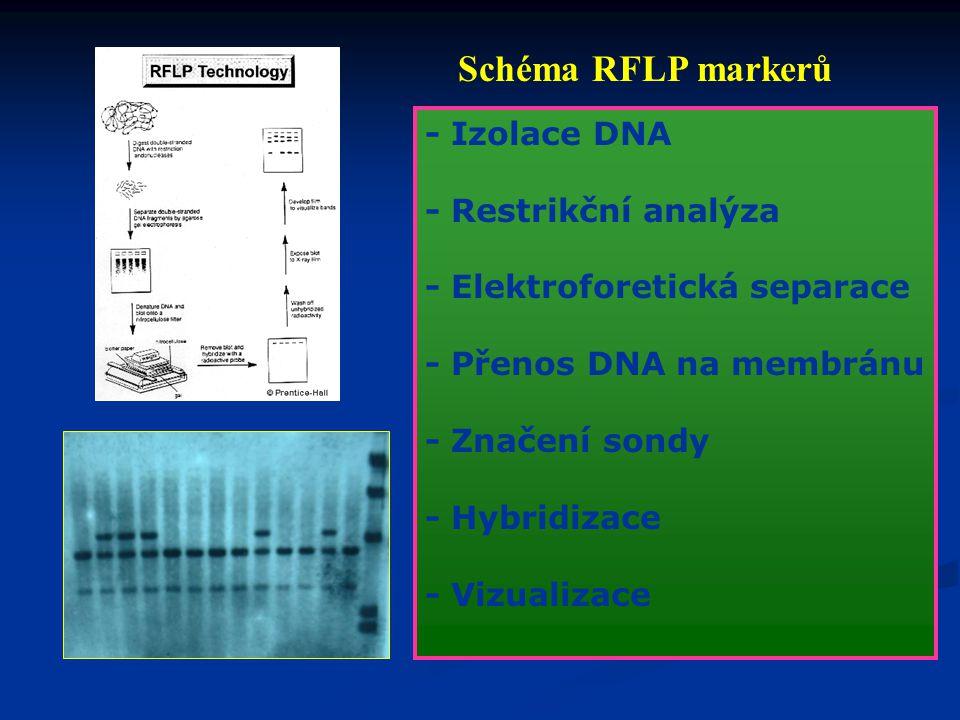 Typy DNA markerů: 1. založené na hybridizaci DNA 2. založené na polymerázové řetězové reakci amplifikace - specifických sekvencí - náhodných sekvencí