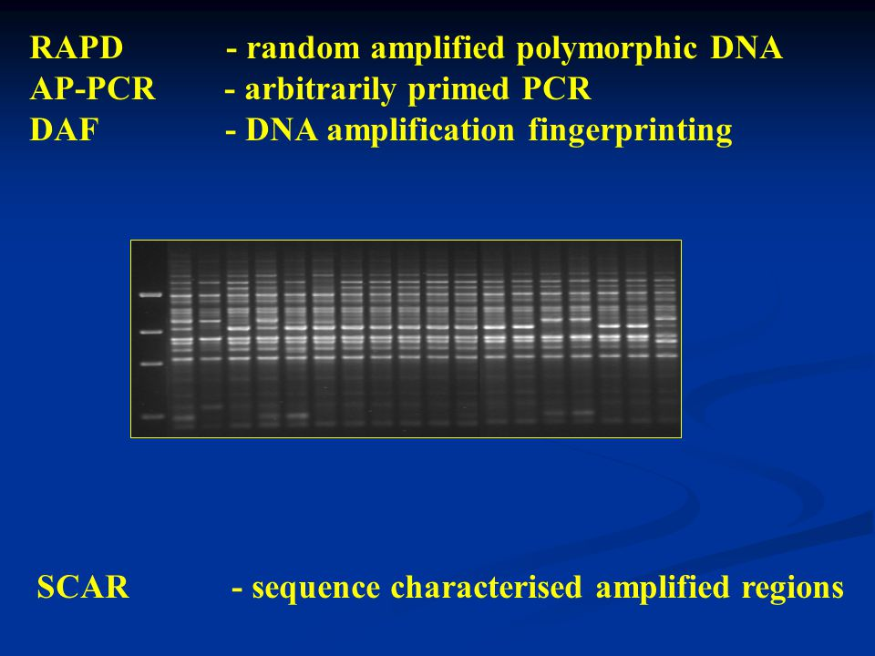 RAPD - random amplified polymorphic DNA AP-PCR - arbitrarily primed PCR DAF - DNA amplification fingerprinting SCAR - sequence characterised amplified regions