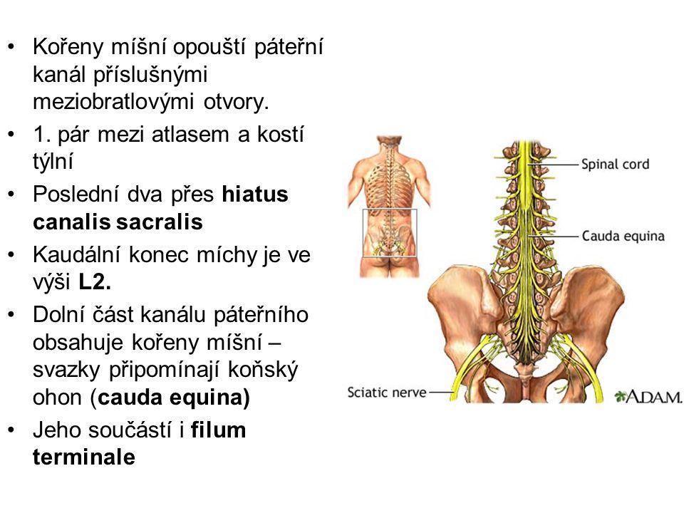 Kořeny míšní opouští páteřní kanál příslušnými meziobratlovými otvory. 1. pár mezi atlasem a kostí týlní Poslední dva přes hiatus canalis sacralis Kau