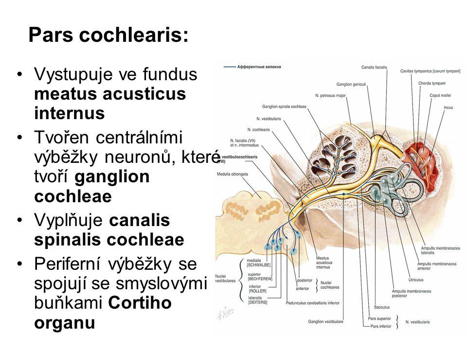Pars cochlearis: Vystupuje ve fundus meatus acusticus internus Tvořen centrálními výběžky neuronů, které tvoří ganglion cochleae Vyplňuje canalis spin