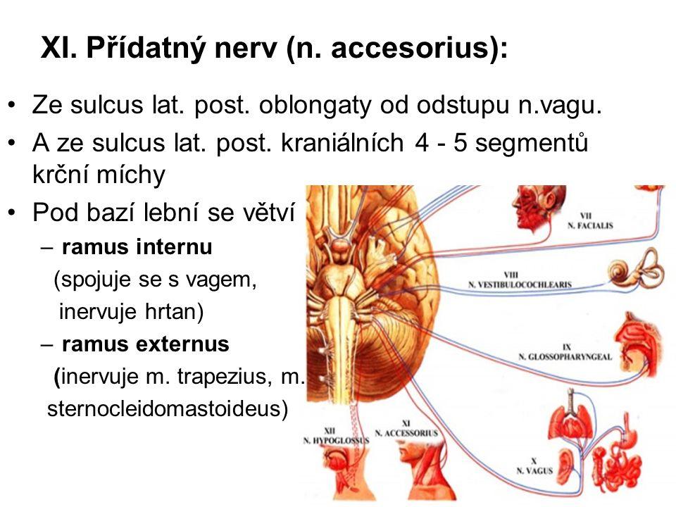 XI. Přídatný nerv (n. accesorius): Ze sulcus lat. post. oblongaty od odstupu n.vagu. A ze sulcus lat. post. kraniálních 4 - 5 segmentů krční míchy Pod