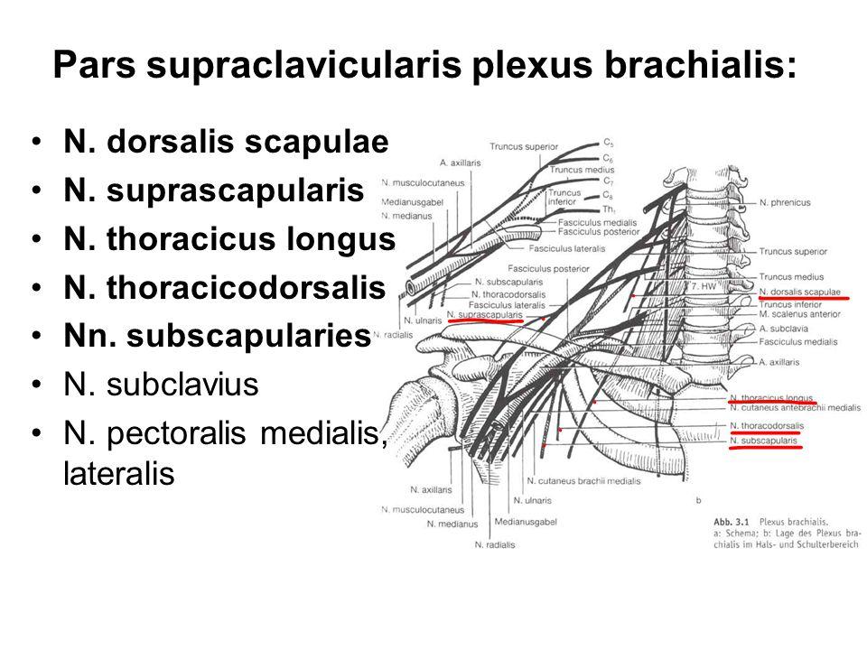 Pars supraclavicularis plexus brachialis: N. dorsalis scapulae N. suprascapularis N. thoracicus longus N. thoracicodorsalis Nn. subscapularies N. subc